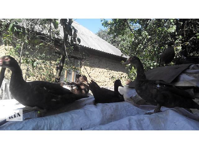 продам мускусные утки бу в Тернополе