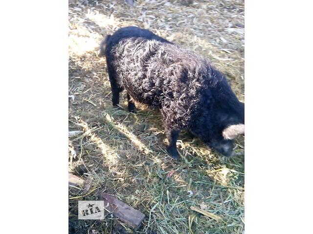 Мясные свиньи- объявление о продаже  в Брусилове