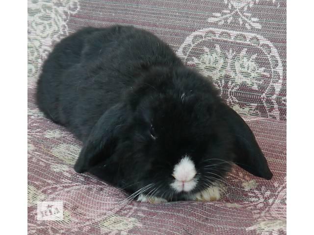продам Милі декоративні кролики бу в Коломые