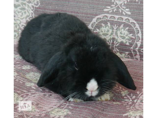 Милі декоративні кролики- объявление о продаже  в Коломые