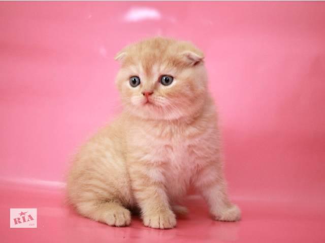 Милый, сладкий , очаровательный толстячек  вислоухий малыш.Интересный рисунчатый окрас.  - объявление о продаже  в Киеве