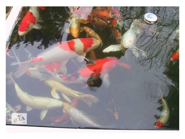 ферма карп кои,оптом,корм для карпов,нимфеи для пруда,озеро,пруд,аквариум,- объявление о продаже  в Киеве