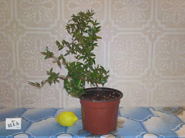 бу Бонсай. Миртовое дерево - символ любви и благоденствия в Ровно