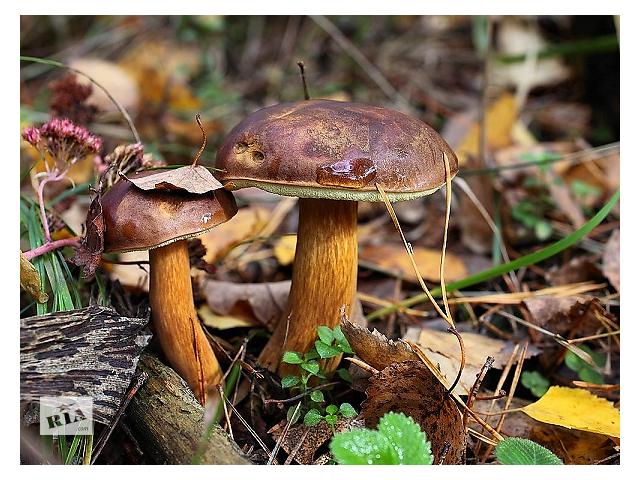 купить бу Мицелий гриба маховик каштановый ( польский гриб ) для выращивания в саду продаю почтой недорого в Киеве