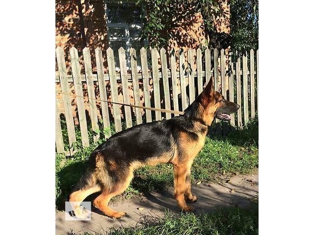 купить бу На продаже подрощеный щенок немецкой овчарки. в Полтаве