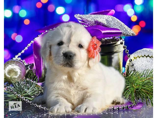 продам ВИДЕО + САЙТ. Идеальная собака для всей семьи, щенки золотистого ретривера от Мультичемпиона. бу в Киеве