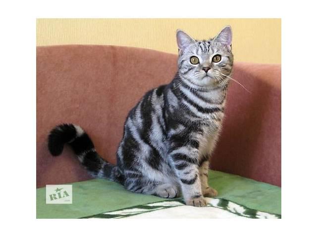 купить бу Нарядный плюшевый котик. Британский принц. в Днепре (Днепропетровск)