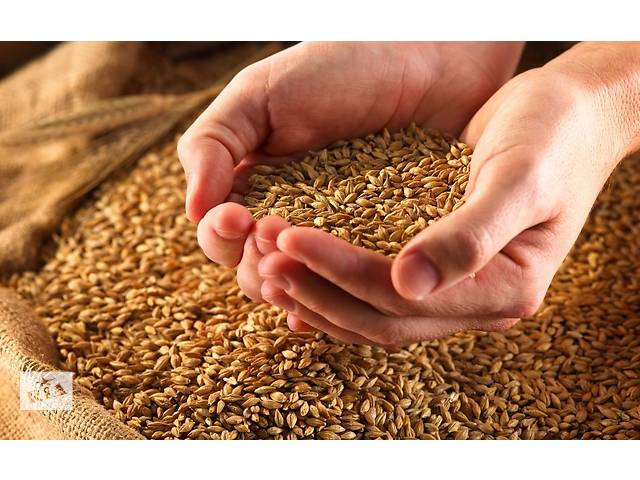 Семена озимой пшеницы Благодарка Одесская- объявление о продаже  в Киеве