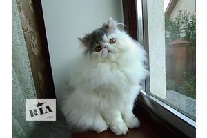 Эксклюзивные персидские котята Айсик Шарм и Урмас Шарм Биколор Кэтс.