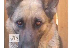 продам Собаки, цуценята бу