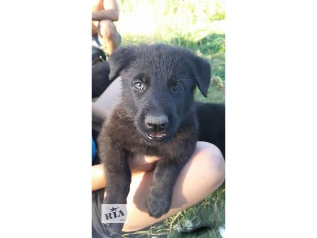 Немецкие щенки- объявление о продаже  в Гнивани