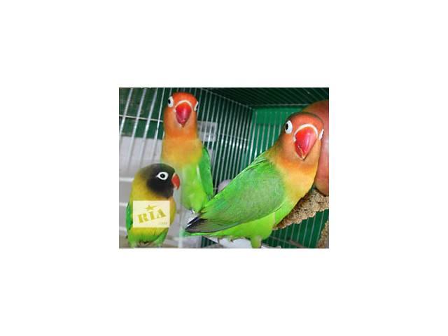 Неразлучники и другие мелкие породы попугаев- объявление о продаже  в Киеве