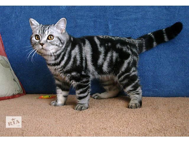 бу Невероятной красоты британский котик подросток в Запорожье