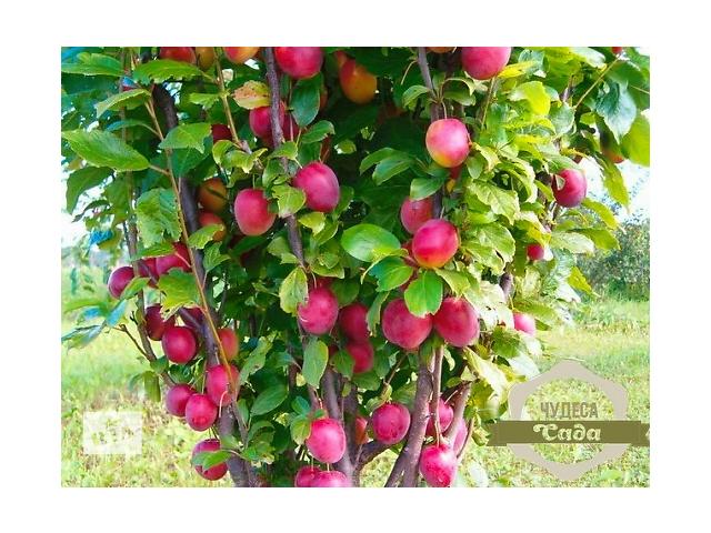 Нужны саженцы? Артемовский питомник. Яблони,груши сливы,вишни,розы.ИТД- объявление о продаже  в Харькове