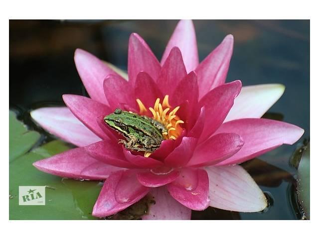 бу Нимфеи (кувшинки), прибрежные и водные растения для декоративных водоемов в Львове