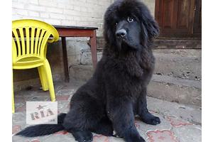 бу Собаки, щенки  в Украине