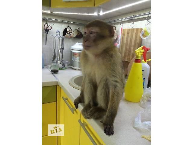 Обезьянка для дома, зоопарка, учреждения- объявление о продаже  в Киеве