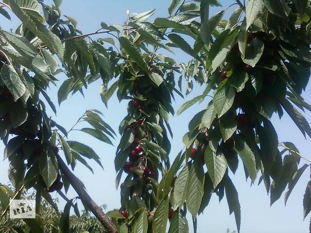 купить бу Обрезка садовых, фруктовых деревьев на плодоношение.Уход за деревьями в Никополе