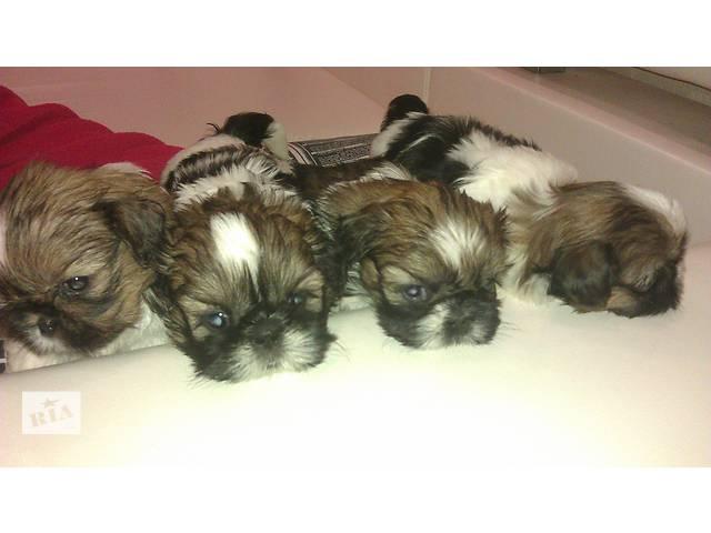 купить бу Обворожительные щенки ши-тцу в Донецке