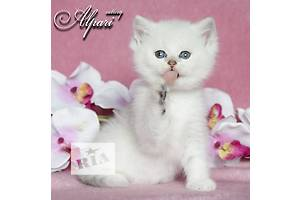 Обворожительные котята британской серебристой шиншиллы