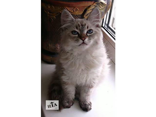 Очаровательные голубоглазые котята породы невская маскарадная- объявление о продаже  в Харькове