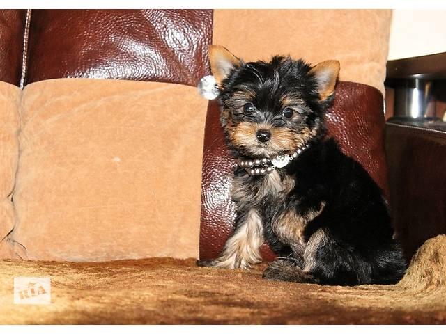 Очаровательные щенки Йоркширского терьера.- объявление о продаже  в Днепре (Днепропетровске)