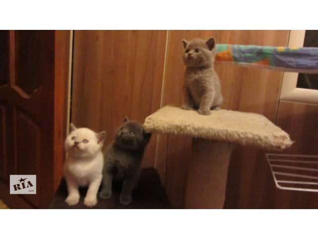 бу Очаровательные шотландские котята в Чернигове