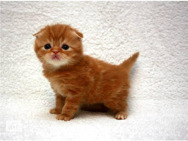 Очаровательные шотландские котятя к Новому году- объявление о продаже  в Киеве