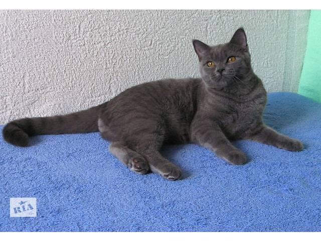 купить бу Очаровательный британский котенок в шикарном голубом окрасе в Киеве
