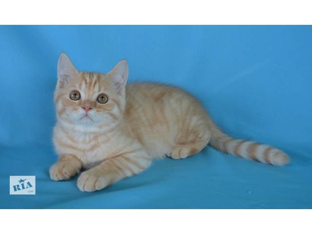купить бу Очаровательный шотландский котенок в Хмельницком