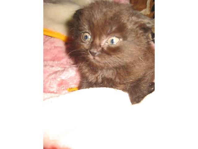 бу Очаровательный шотландский котенок в Малой Виске
