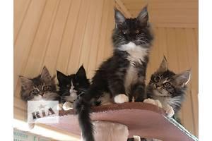 Очень крупные яркие ласковые котята мейн кун