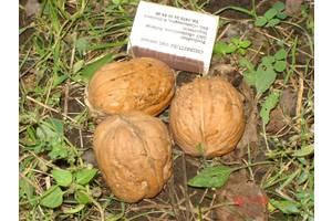 Саженцы ореха