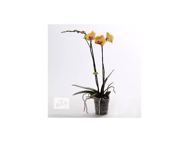 Орхидея Фаленопсис  (2 стебл ) Кімнатні рослини - Орхидеи в горшке- объявление о продаже   в Украине