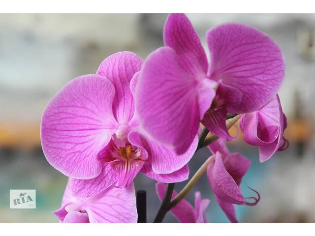 """Орхидея фаленопсис цветущая """"Mikrolfor""""- объявление о продаже  в Киеве"""