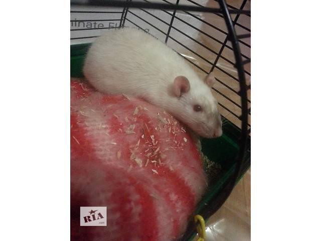 бу Отдам добрую крысу белого цвета бесплатно в Сумах