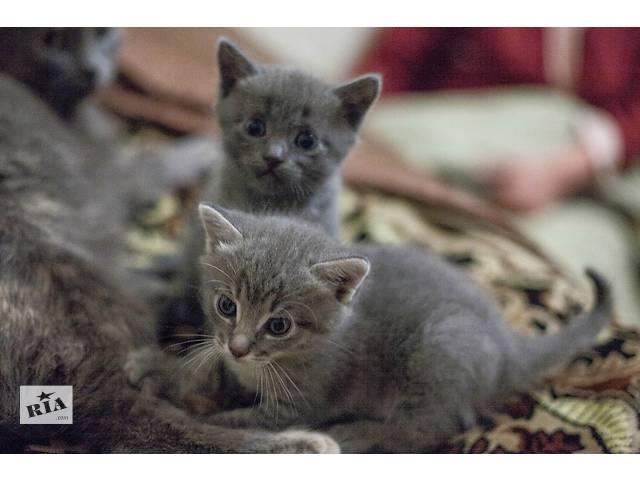 купить бу отдам котят русской голубой кошки в хорошие руки в Чернигове