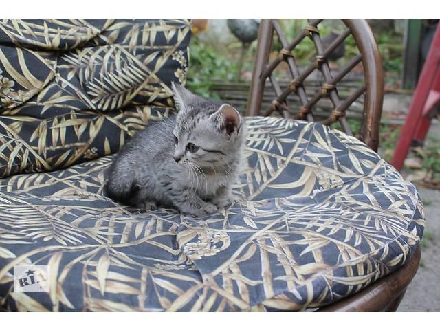 отдам котят в добрые руки- объявление о продаже  в Борисполе