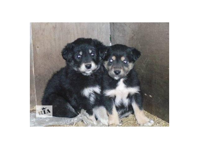купить бу Отдам щенят в хороший частный дом  в Киеве