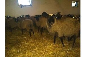 Бараны, овцы
