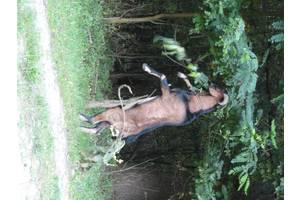Коза, козлята