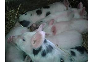 Свиньи, поросята