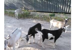 Коза, козенята