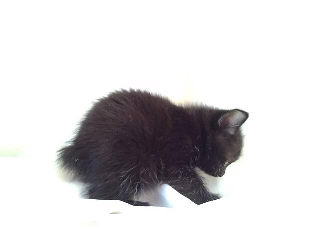 купить бу Открыт резерв на котят! в Киеве