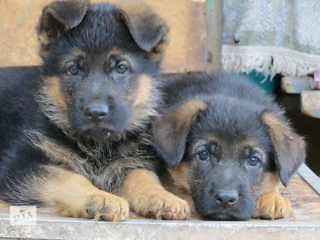 клички для собак мальчиков немецкой овчарки достигается путем
