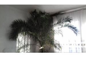 Новые Пальмы комнатные