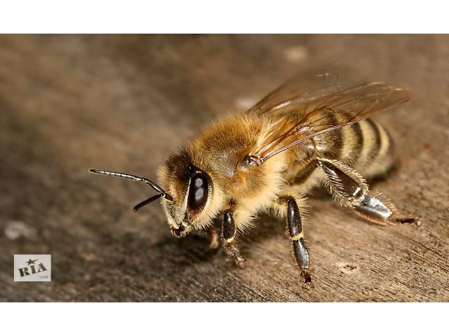Пчелы- объявление о продаже  в Могилев-Подольске