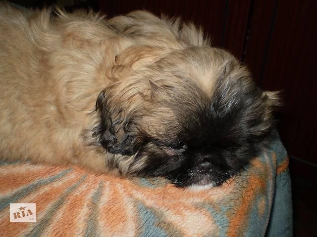 Допомога бу щенки пекинеса в вінниці