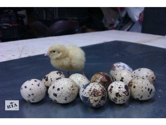 бу Перепела, яйца, клетки в Ковеле