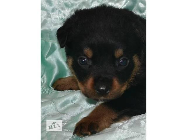 Перспективные щенки ротвейлера- объявление о продаже  в Днепре (Днепропетровске)